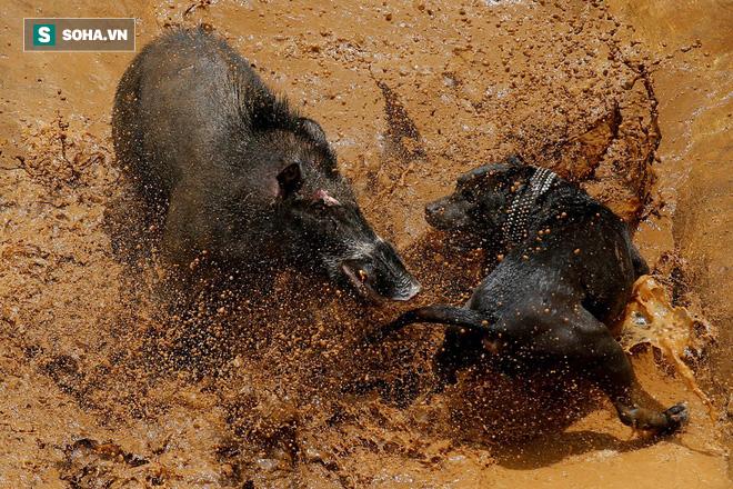 Lợn rừng bị cả bầy chó dồn tận xuống sông: Số phận nó sẽ ra sao? - Ảnh 1.