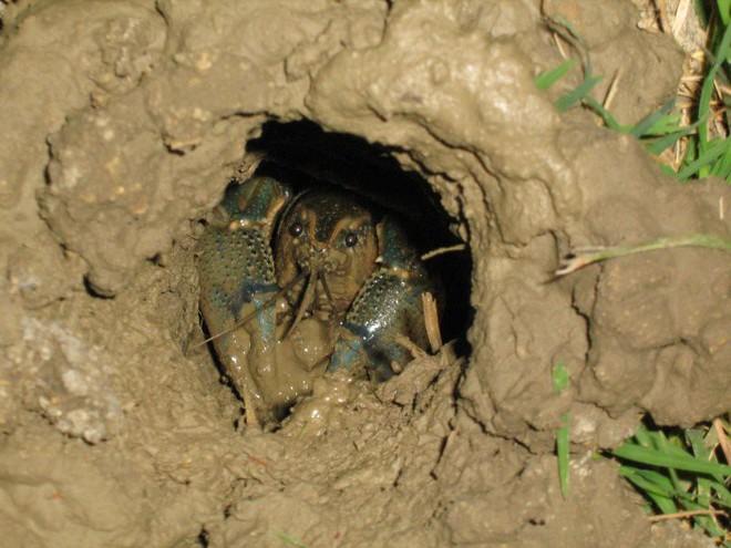 Thực hư về sự nguy hại của tôm hùm đất, loại đặc sản có giá tới nửa triệu/kg - Ảnh 4.