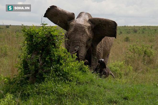 Cảm thấy nguy hiểm, voi mẹ hất tung kẻ xâm phạm nặng đến nửa tấn lên trời - Ảnh 2.