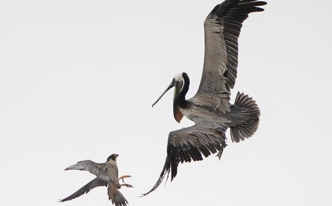24h qua ảnh: Chim ưng mẹ tấn công bồ nông khổng lồ