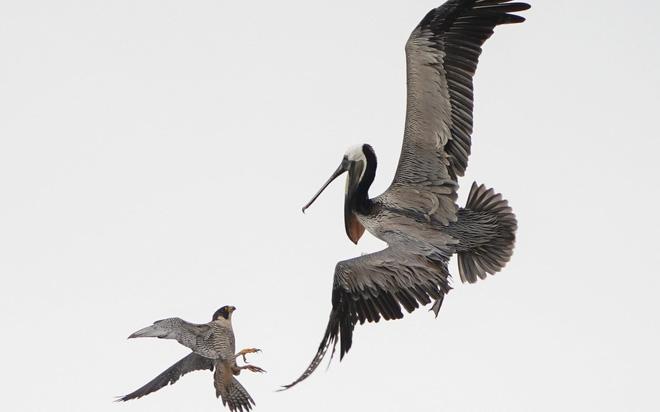24h qua ảnh: Chim ưng mẹ tấn công bồ nông khổng lồ - Ảnh 4.