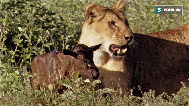 Bị cả bầy sư tử truy sát, linh dương con vẫn tạo nên sự bất ngờ bằng sự nhanh trí - Ảnh 1.