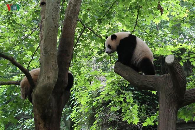 """Những hình ảnh thú vị về gấu trúc - """"quốc bảo"""" của Trung Quốc - Ảnh 11."""