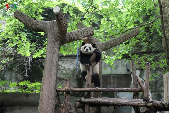 """Những hình ảnh thú vị về gấu trúc - """"quốc bảo"""" của Trung Quốc - Ảnh 12."""