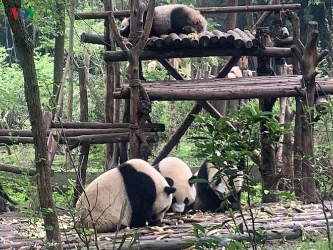 """Những hình ảnh thú vị về gấu trúc - """"quốc bảo"""" của Trung Quốc - Ảnh 13."""