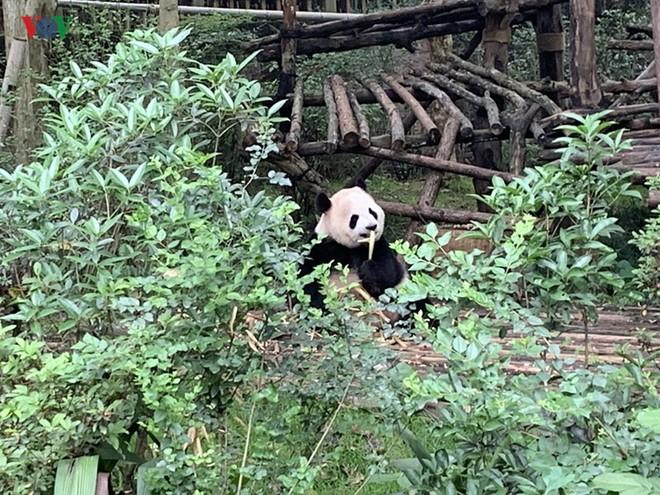 """Những hình ảnh thú vị về gấu trúc - """"quốc bảo"""" của Trung Quốc - Ảnh 3."""