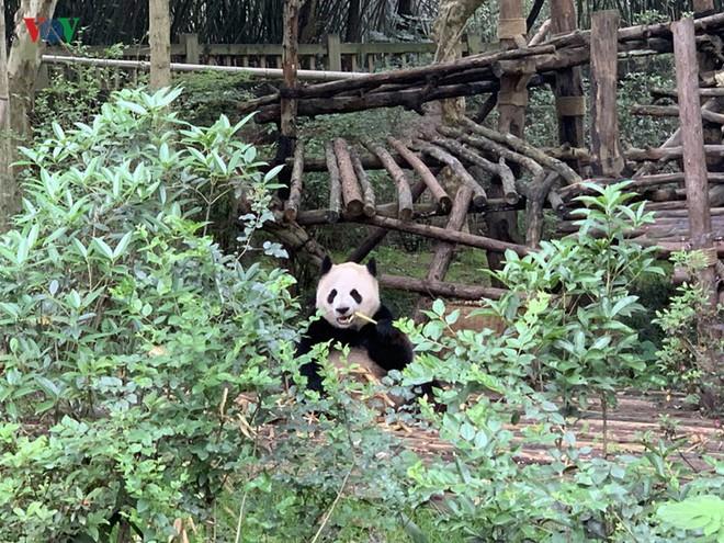 """Những hình ảnh thú vị về gấu trúc - """"quốc bảo"""" của Trung Quốc - Ảnh 4."""