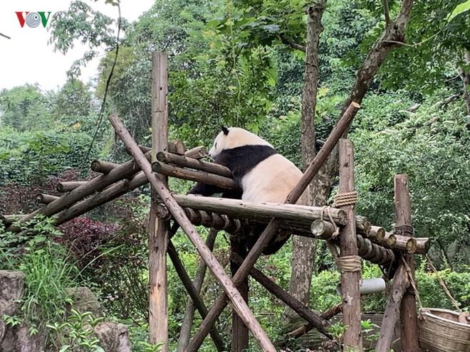 """Những hình ảnh thú vị về gấu trúc - """"quốc bảo"""" của Trung Quốc - Ảnh 6."""