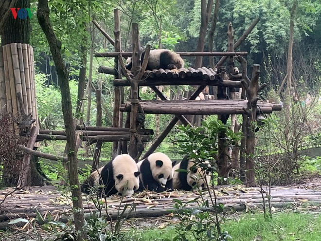"""Những hình ảnh thú vị về gấu trúc - """"quốc bảo"""" của Trung Quốc - Ảnh 7."""