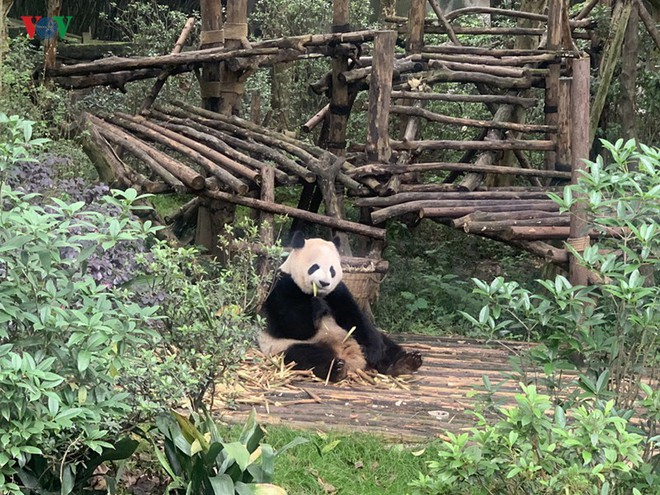 """Những hình ảnh thú vị về gấu trúc - """"quốc bảo"""" của Trung Quốc - Ảnh 8."""