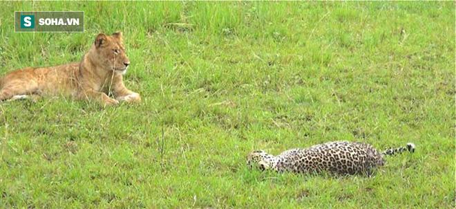 Báo đực chậm chân bị 9 con sư tử hành hạ: Cú cắn chí mạng khiến nó hấp hối chờ chết - Ảnh 1.