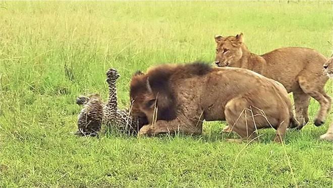 Báo đực chậm chân bị 9 con sư tử hành hạ: Cú cắn chí mạng khiến nó hấp hối chờ chết - Ảnh 4.