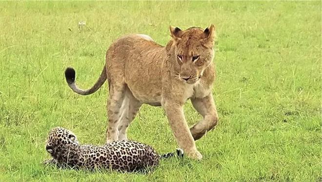 Báo đực chậm chân bị 9 con sư tử hành hạ: Cú cắn chí mạng khiến nó hấp hối chờ chết - Ảnh 5.