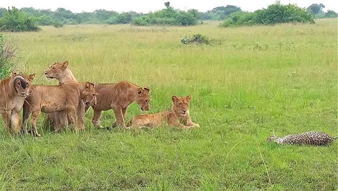 Báo đực chậm chân bị 9 con sư tử hành hạ: Cú cắn chí mạng khiến nó hấp hối chờ chết - Ảnh 6.