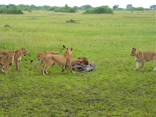 Báo đực chậm chân bị 9 con sư tử hành hạ: Cú cắn chí mạng khiến nó hấp hối chờ chết - Ảnh 8.