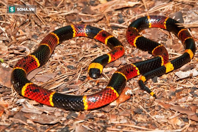 Sở hữu nọc độc trứ danh Bắc Mỹ, rắn san hô vẫn bỏ mạng cay đắng trước hổ mang chúa - Ảnh 1.