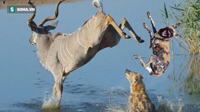 Chó hoang nhăm nhe làm thịt linh dương, ai ngờ suýt bị con mồi dìm chết - Ảnh 1.