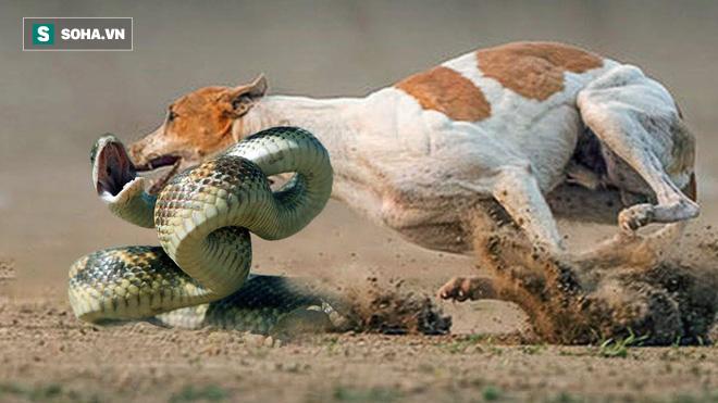 Phát hiện kẻ lạ mặt, chó nhà lao ra cắn xé rắn hổ trâu to lớn tới chết - Ảnh 1.
