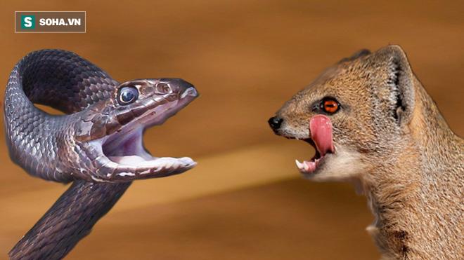 Thoáng thấy cầy Mangut, rắn chui tọt vào hang nhưng vẫn bị kẻ thù lôi ra làm thịt - Ảnh 1.