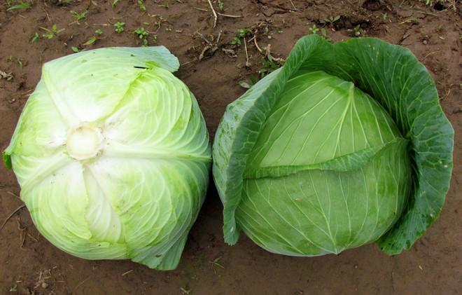 Bắp cải loài rau được ví thần dược của người nghèo: Hãy nghe chuyên gia nói về tác dụng - Ảnh 1.