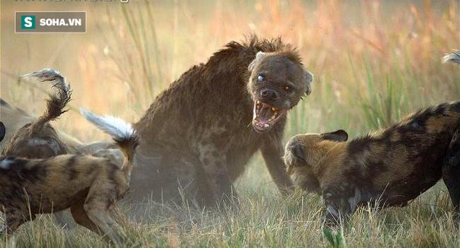 Chó hoang bất ngờ đụng độ linh cẩu: Cả hai có một kết thúc cực kỳ hiếm thấy trong tự nhiên - Ảnh 1.