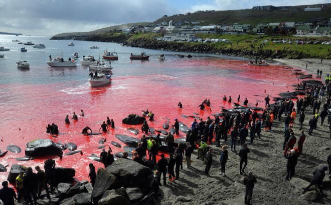 24h qua ảnh: Biển đỏ máu trong lễ hội săn cá voi