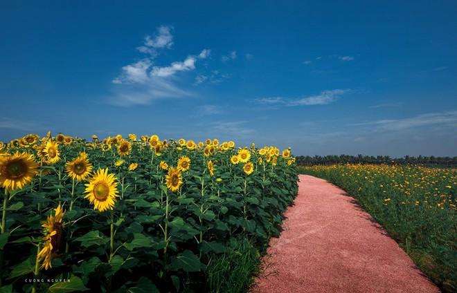 """Lướt mỏi tay loạt ảnh check-in """"thật là vàng tươi"""" của giới trẻ ở vườn hoa hướng dương mới xuất hiện ngay gần Hà Nội, không đi nhanh kẻo phí cả mùa hè - Ảnh 12."""