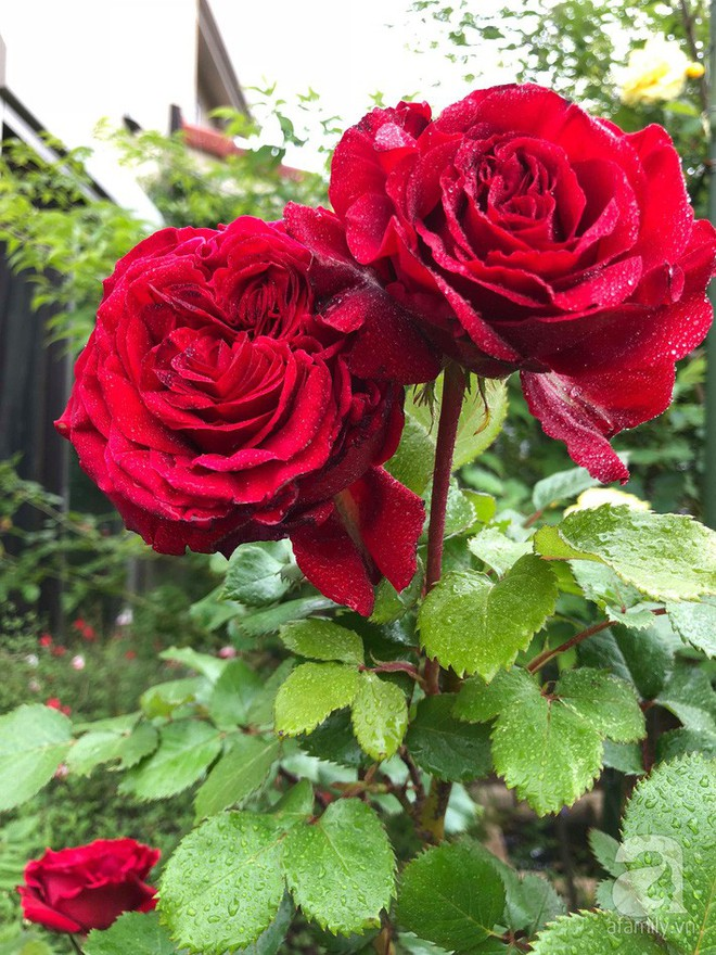 Khu vườn hoa hồng trước nhà đẹp như cổ tích của người đàn ông Việt ở Nhật - Ảnh 20.