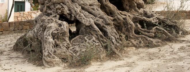 Bí mật của cây ô liu cổ thụ nhất hành tinh, ít nhất 3000 năm tuổi trên đảo Crete - Ảnh 1.
