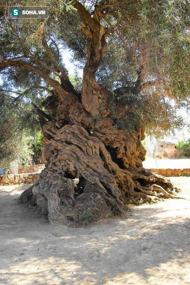 Bí mật của cây ô liu cổ thụ nhất hành tinh, ít nhất 3000 năm tuổi trên đảo Crete - Ảnh 3.