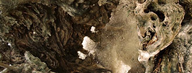 Bí mật của cây ô liu cổ thụ nhất hành tinh, ít nhất 3000 năm tuổi trên đảo Crete - Ảnh 2.