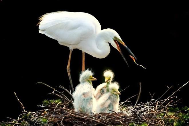 Ấm áp tình mẫu tử của loài cò trắng trong mùa sinh sản - Ảnh 1.