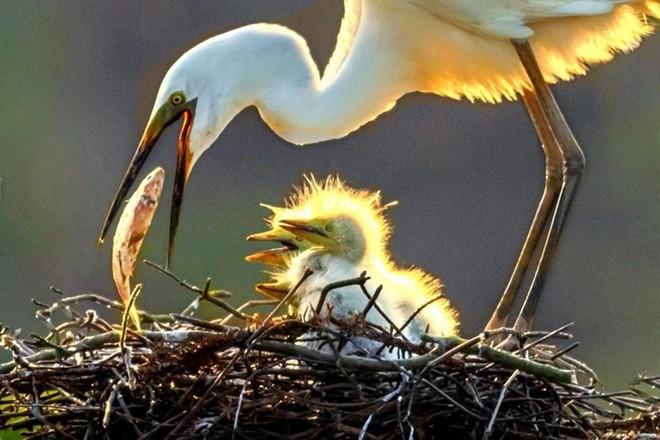 Ấm áp tình mẫu tử của loài cò trắng trong mùa sinh sản - Ảnh 4.