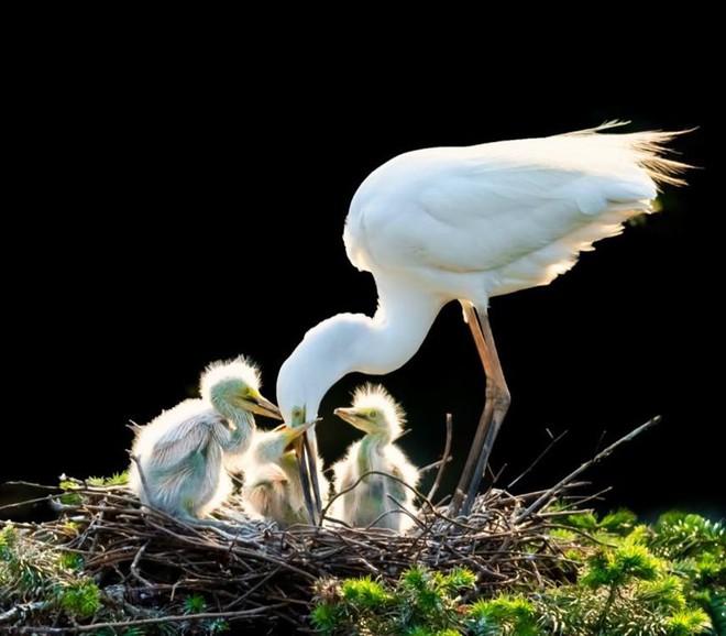 Ấm áp tình mẫu tử của loài cò trắng trong mùa sinh sản - Ảnh 5.
