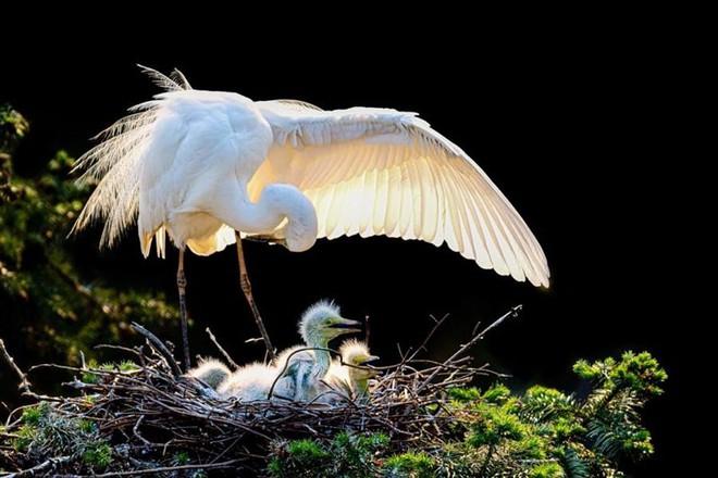 Ấm áp tình mẫu tử của loài cò trắng trong mùa sinh sản - Ảnh 6.