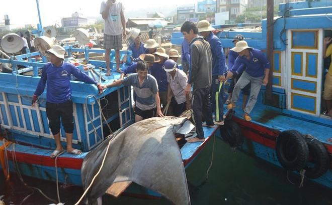 Ngư dân Lý Sơn bắt được cá nạng nặng hơn 1 tấn, bán 24 triệu đồng