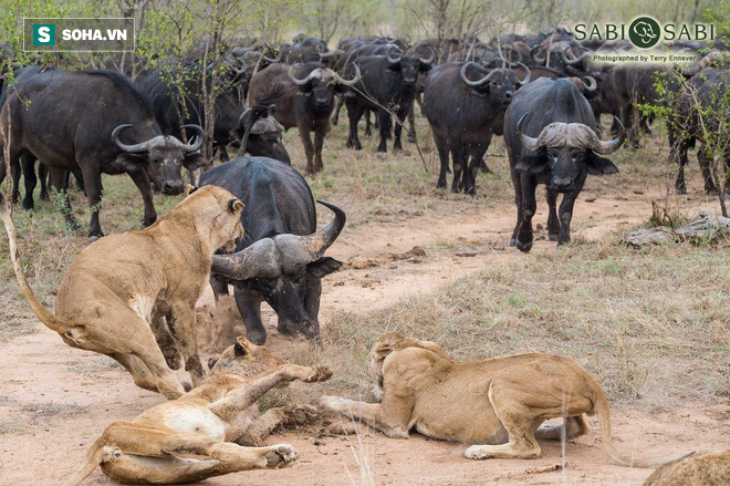 Phục kích trâu rừng, bầy sư tử chẳng ngờ dính đòn hồi mã thương - Ảnh 1.