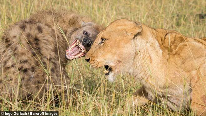 Linh cẩu ỷ động định cướp đồ của sư tử, kết cục sẽ ra sao? - Ảnh 1.