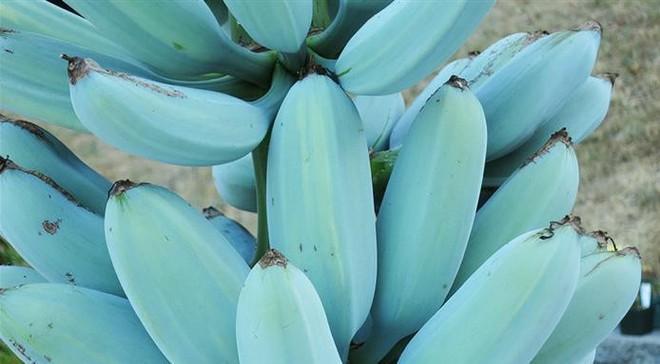 Ngỡ ngàng với chuối xanh da trời hơn 2 triệu đồng/nải - Ảnh 1.