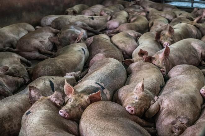 Sự thật tàn khốc đằng sau những lò giết mổ lợn ở Thái Lan với nỗi đau thấu tim can không ai biết - Ảnh 2.