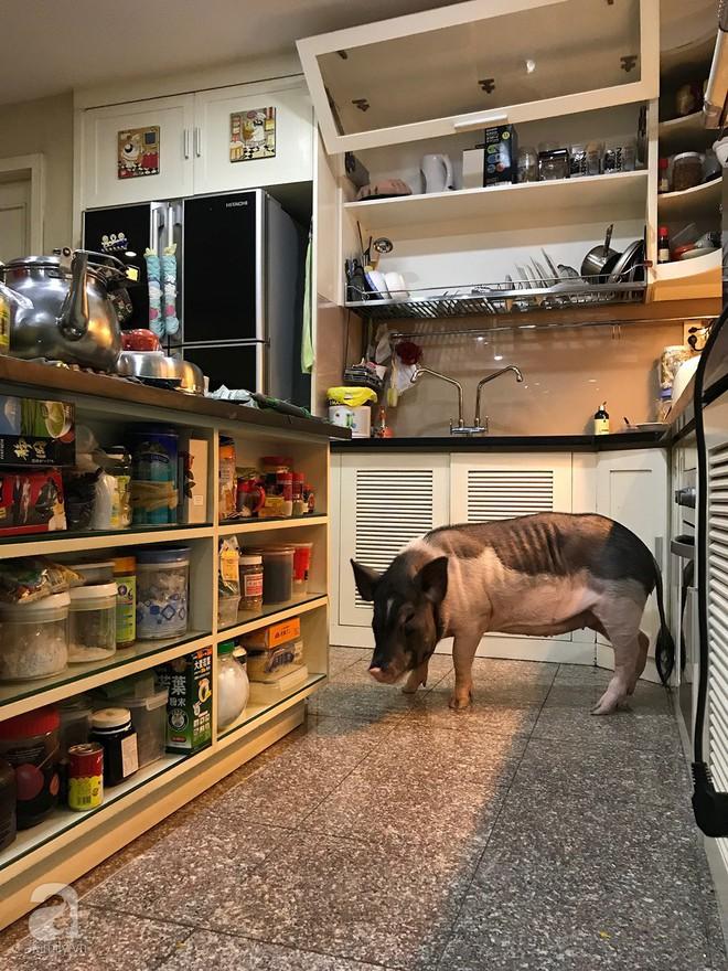 Gia đình ở Sài Gòn nuôi chú heo nặng gần 60kg, thực đơn riêng có tôm càng, xúc xích Đức, tổ yến - Ảnh 18.