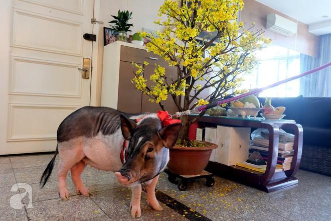 Gia đình ở Sài Gòn nuôi chú heo nặng gần 60kg, thực đơn riêng có tôm càng, xúc xích Đức, tổ yến - Ảnh 19.