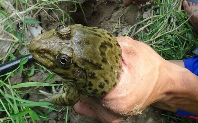 Được khuyên bỏ nghề nhưng không nghe, 2 người bắt ếch lần lượt nhận án tử trong chốc lát