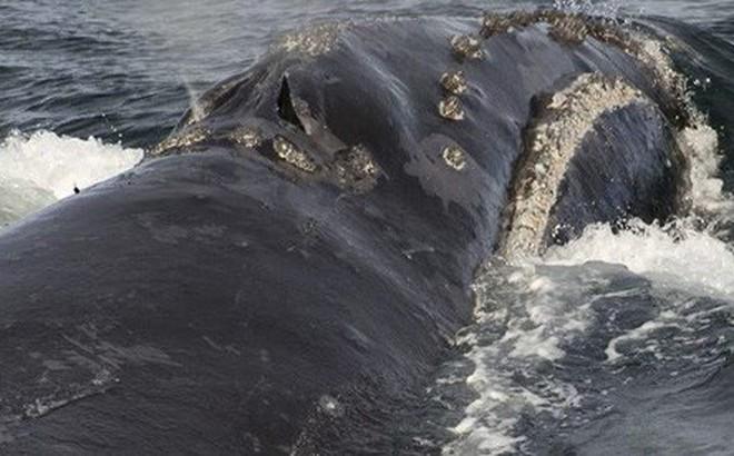 Tiếng hát của cá voi đầu bò quý hiếm khiến các nhà khoa học sửng sốt
