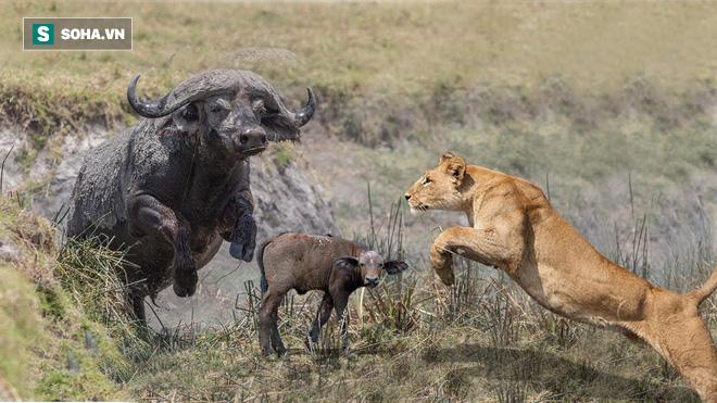 Bắt được mồi ngon, bầy sư tử bỗng chạy nháo nhác vì bóng đen điên cuồng lao đến - Ảnh 1.