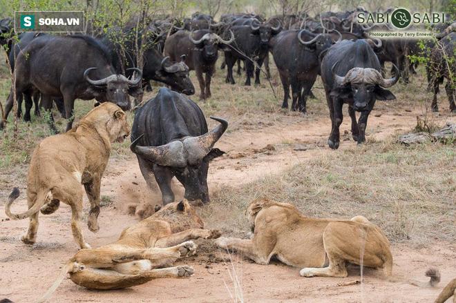 Nghé con gặp nạn, cả bầy trâu kéo đến quyết hành hạ đàn sư tử - Ảnh 1.