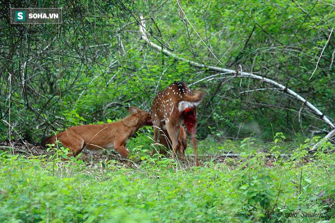 Sói đỏ săn mồi tàn độc, hươu đốm bất lực chịu cảnh bị ăn tươi nuốt sống - Ảnh 1.