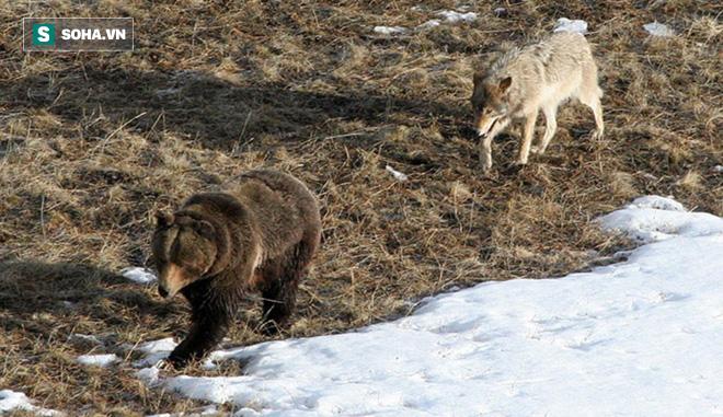 Bầy chó sói tổ chức chặn đánh kẻ thù và quyết định bất ngờ của con gấu - Ảnh 1.