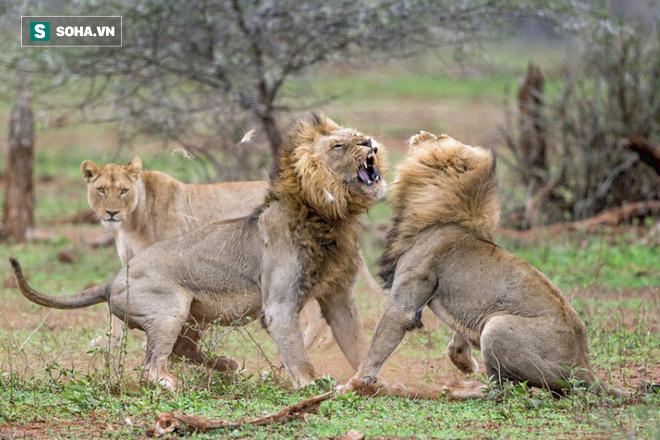 Ngựa non háu đá: Sư tử đực trẻ tuổi nhận bài học nhớ đời từ những bậc tiền bối - Ảnh 1.