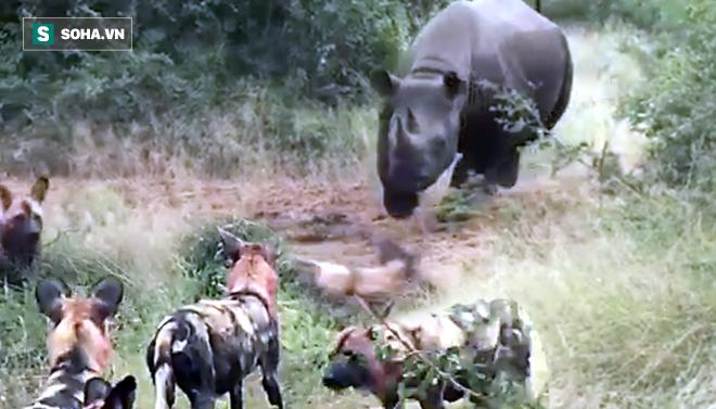 Tê giác khát nước phát điên, đuổi bầy chó hoang để độc chiếm vũng nước - Ảnh 1.